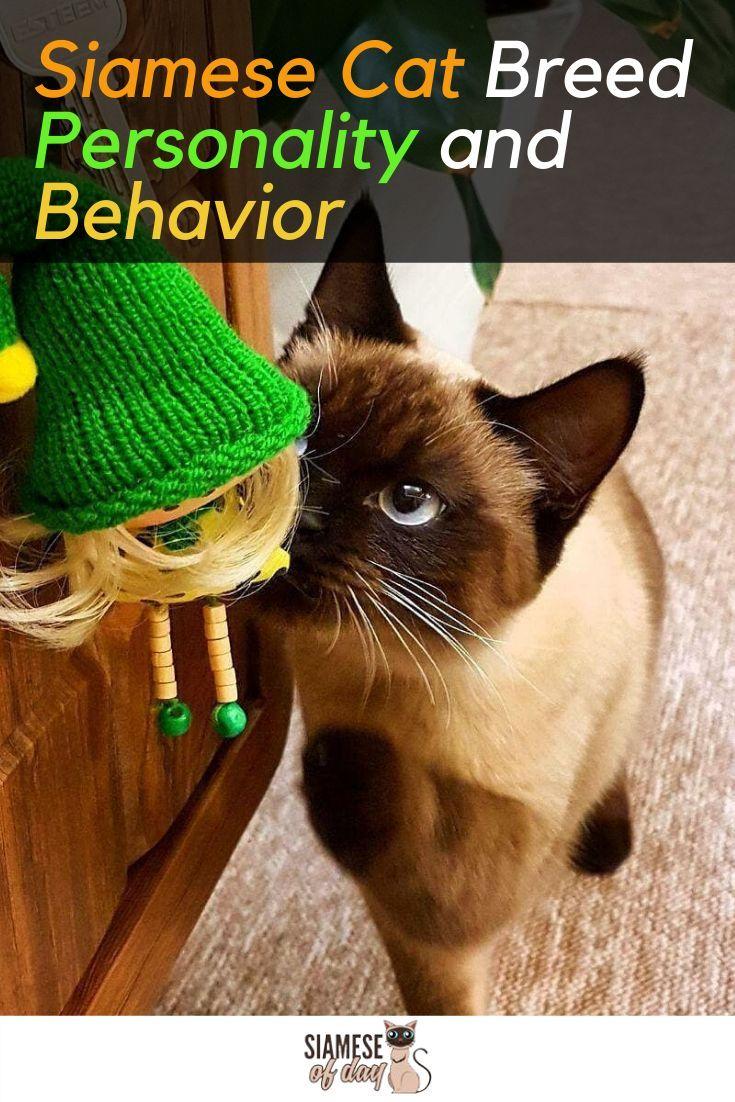 Siamese Cat Personality And Behavior Siamese Cats Cat Breeds Cat Breeds Siamese