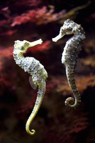 Você sabia que um cavalo-marinho macho pode engravidar?