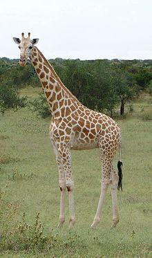 Northern giraffe - Wikipedia