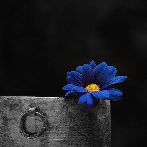 82 best color splash images on pinterest - Plants with blue flowers a splash of colors in the garden ...