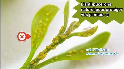 Vos plantes vertes sont infestées par les pucerons ? Inutile de se ruiner en produits chimiques pour les repousser ! Il existe un anti-puceron naturel pour se débarrasser des pucerons sur vos pla...