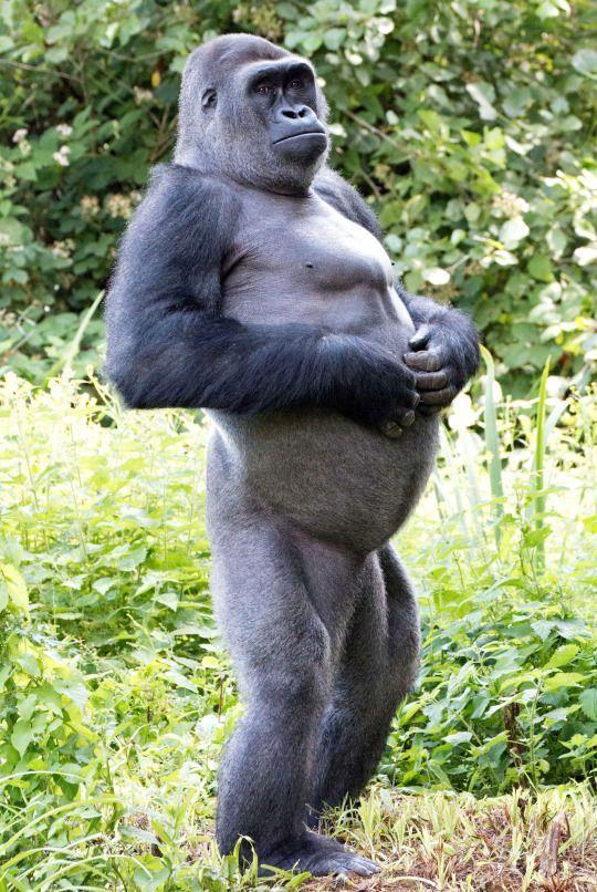 картинки гориллы приколы наиболее частый