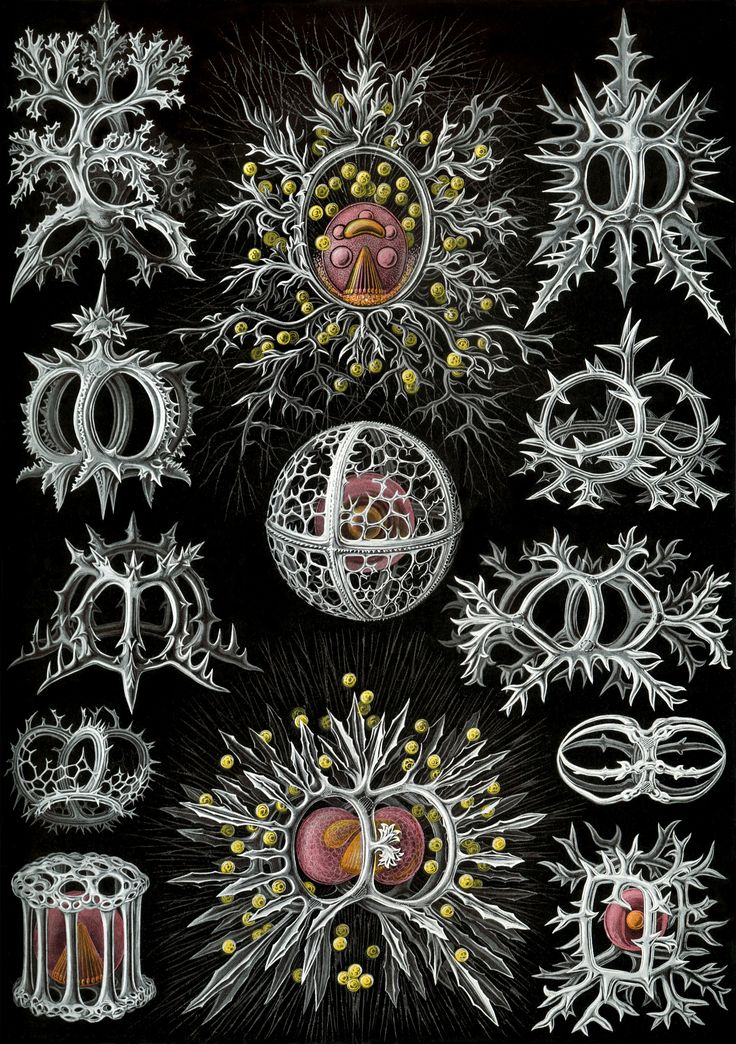"""G's Trivialities - Ernst Haeckel's Gorgeous Illustrations: """"Art Forms in Nature"""""""