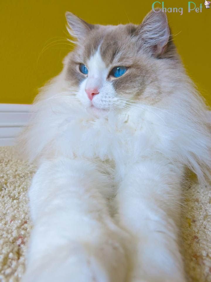 Terrific Free Ragdoll Cats Price Tips Ragdoll Cat Price Ragdoll Cat Ragdoll Cat Rescue