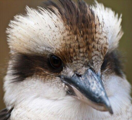 Gorgeous little face. Kookaburra