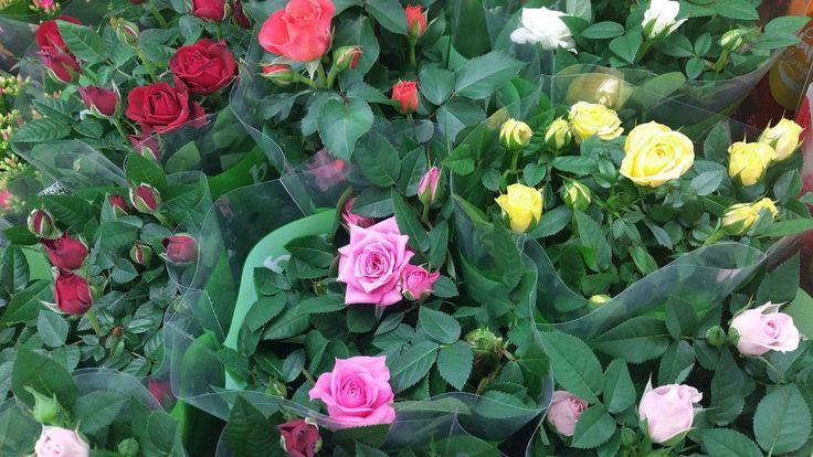 Topfrosen, Minirosen im Garten auspflanzen – geht das