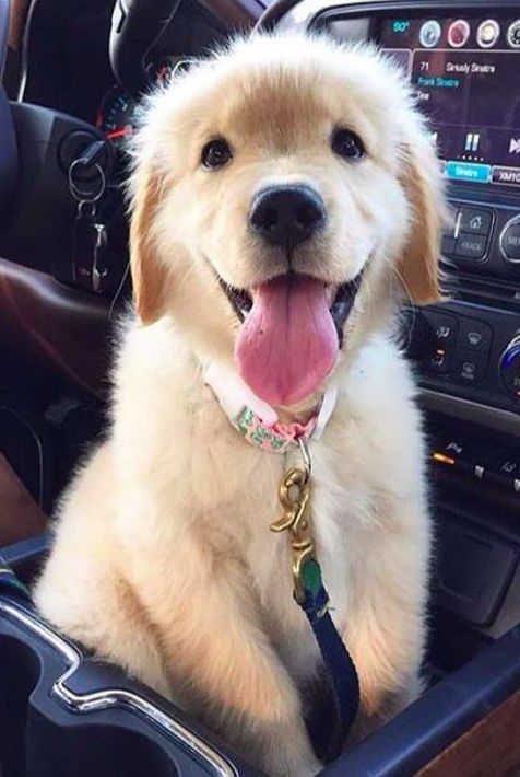 adorable #Golden puppy