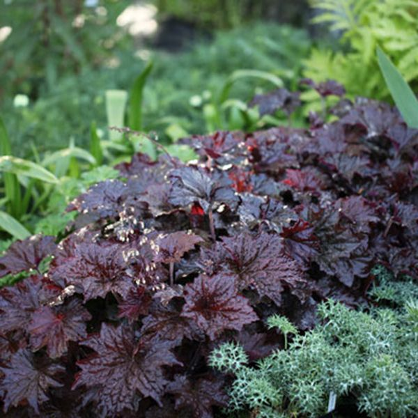 Heuchera villosa 'Palace Purple': Striking, shiny, burgundy leaves