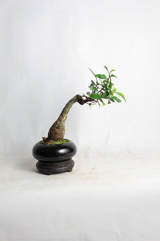 Philipino ficus bonsai tree spring mame collection by for Bonsai vasi