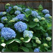 Nikko Blue Hydrangea - one of my very favorite flowers!
