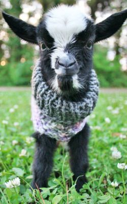 Baby goat in an itsy bitsy sweater