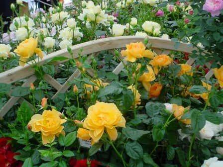 Укоренение черенков роз в картофеле