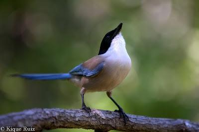 Precioso ave, se llama rabilargo.: Precioso Ave, Photographs, Llama Rabilargo, Mis Fotografías