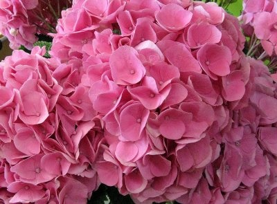 I absolutely adore hydrangeas. Flowers always put a smile on my face. What's not to love?: Pink Hydrangeas, Popular Flowers, Seasons, Wedding, Adorable Hydrangeas, Life Gardens, The Roller Coasters