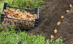 Kartoffeln pflanzen und ernten - Kartoffeln eignen sich hervorragend zum Anbau im eigenen Garten. Die Sortenvielfalt ist immens und die Ernteerträge beachtlich. Über 50 Kilogramm Kartoffeln konsumiert der Deutsche im Durchschnitt pro Jahr. Umso schöner, wenn ein Teil davon aus dem eignen Garten stammt.