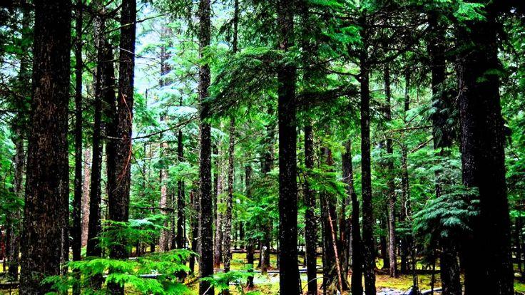 Медитация. Звуки природы. Сосновый лес