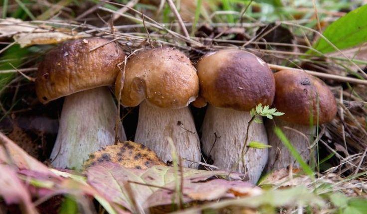 Выращиваем лесные грибы на даче - Дом, квартира, дача, огород, уют и быт