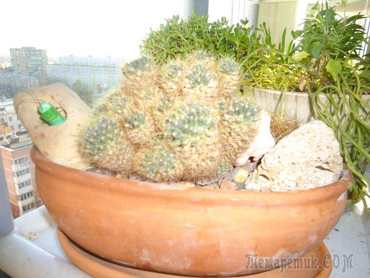 Каталог суккулентов (succulentus) включает в себя комнатные, или домашние, а также садовые, или уличные растения, отличительной особенностью которых является наличие специальных тканей для запасов вод...