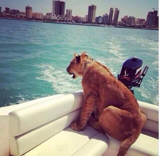 Lions Sailing On A Speedboat  30 Crazy & Hilarious Things That You'll Only See In Dubai • Page 2 of 6 • BoredBug
