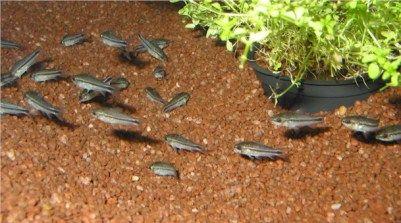 """Dwarf Corydoras Corydoras hastatus 1.25"""""""