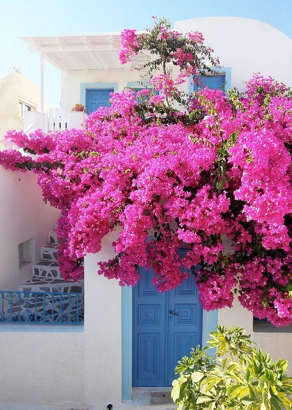 Bougainvillea Winter Care What To Do With A Bougainvillea: 17 Best Ideas About Bougainvillea Tree On Pinterest