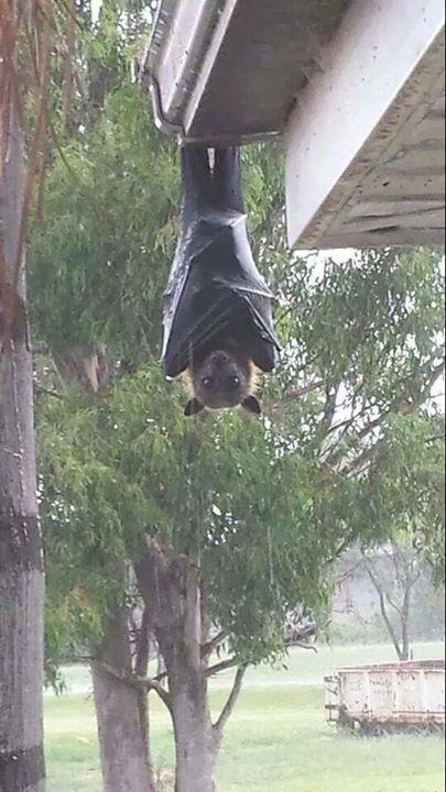 grey headed flying fox hanging off someone's house in Australia... looks like…