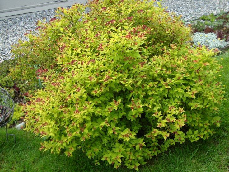 Spiraea japonica ' Gold Flame'