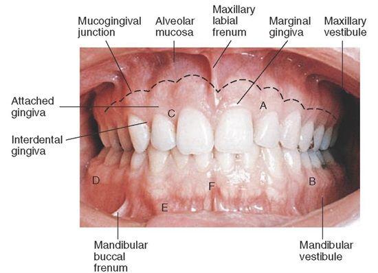 Best 168 Dental Anatomy ideas on Pinterest | Dental anatomy, Teeth ...