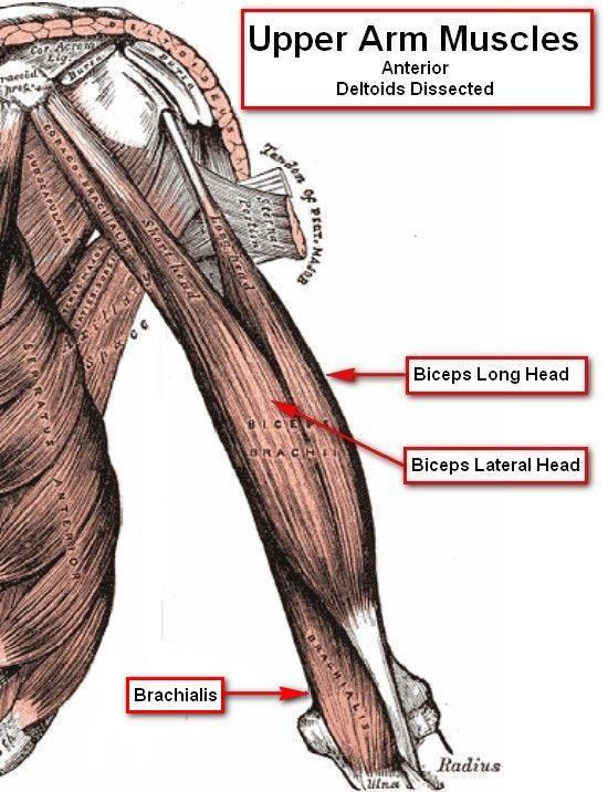 brachialis exercise - photo #42