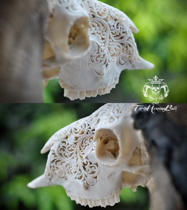Vintage Taxidermy Hand Carved Indonesian Ram Skull with Horn Almost Double Curl Great For Home Decor