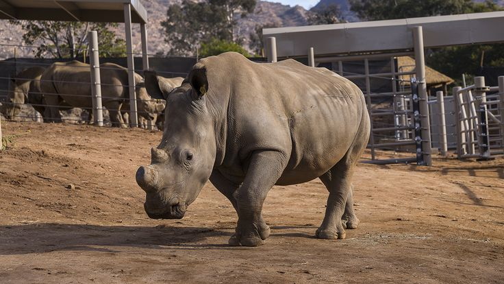 San Diego Zoo Safari Park Artificially Inseminates Rhino in Effort to Save Species:   Researchers accomplished their first artificial insemination attempt on a southern white rhinoceros at the San Diego Zoo, as part of an effort to save the critically endangered northern white rhino. This marks...