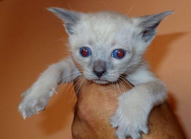 Lindos ojos azules y marcaciones de Blue point