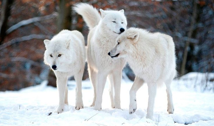 lobo-artico-top-de-animales-mas-bonitos.jpg (1000×590)