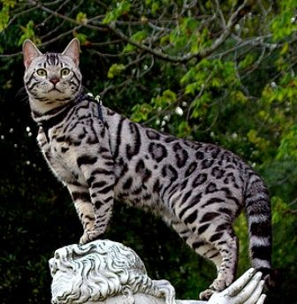 "Bengal cat is a hybrid breed of domesticated cat. A cross between a domestic cat and an Asian leopard cat.  Bengals have ""wild - looking"" markings like large spots and rosettes.  They do not get their name from the Bengal tiger."