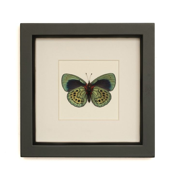 Charles Darwin Real Butterfly Display by BugUnderGlass on Etsy, $42.00