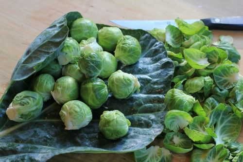 how to grow brussel sprouts in florida