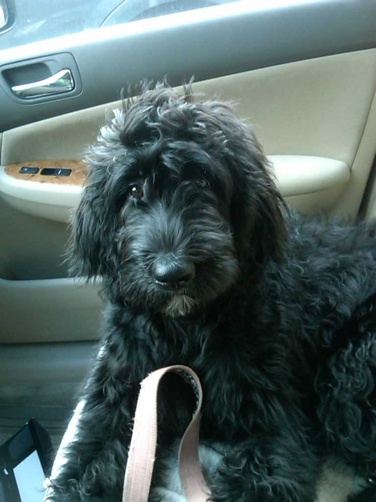 Charlie's Bernedoodle..part Bernese Mountain dog and