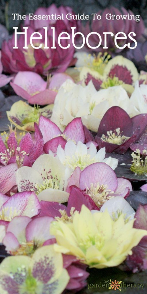 Everything You Wanted to Know About Growing Hellebores #spring #gardentherapy #hellebore #flowergarden