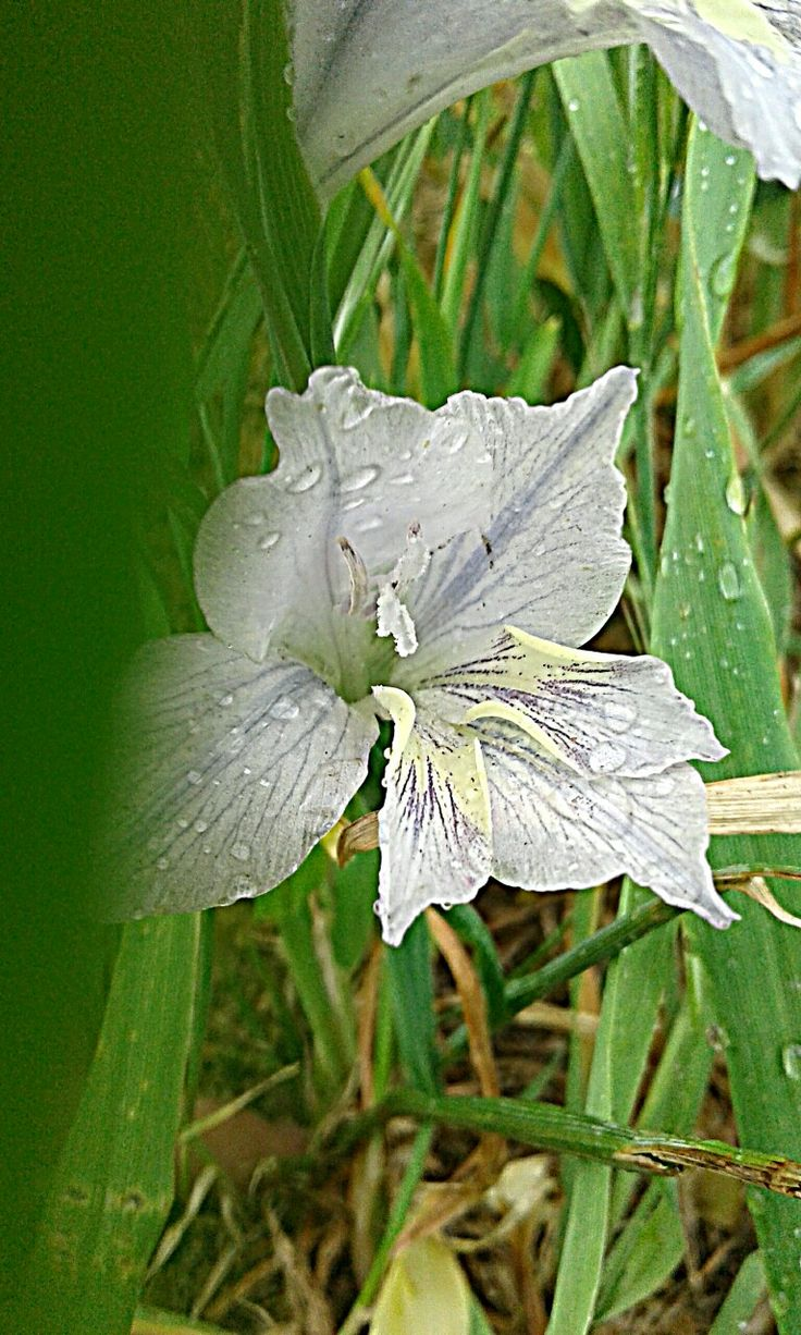 South African indigenous bulb Gladiolus sp