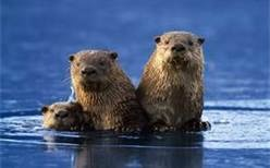 Sea Otters - Bing ImagesPhotos, Little One, Animal World, Critter, Animal Hd, Otters Families, Google Search, Sea Otters, Seaotter Families