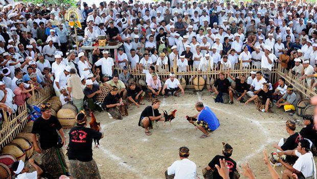 Tajen - Balinese Cockfighting