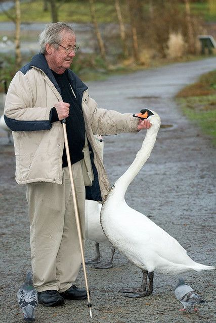 """An Odd Couple, by Eyesplash: """"This is Burt. He has been feeding and friends with the mute swans in Stanley Park for many, many years. There is only one other person I have ever seen that they allow to touch without retaliating or biting. It is amazing to see how all of them look forward to his visits. Burt is in his late 70s and goes to the lagoon almost every day."""""""