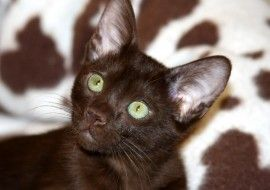 Cat of the Day - Havana Brown - http://blog.hepcatsmarketing.com - check out our blog network for more cute like this!