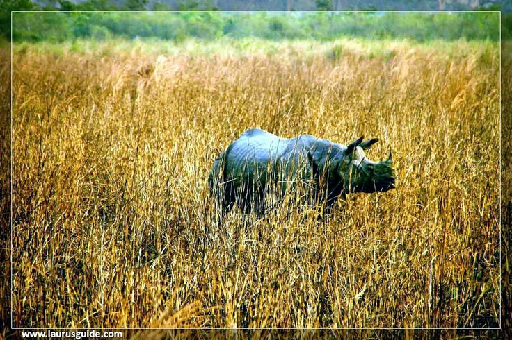 Kaziranga National Park – a world heritage site, the park hosts two-thirds of the world's Great One-horned rhinoceros. Kaziranga also boasts the highest density of tigers among the protected areas in the world and was declared a Tiger Reserve in 2006. Though sighting of tigers are difficult because of the tall grasses that provide excellent camouflage, their presence can be felt everywhere by way of pug marks, kills and territorial markings.