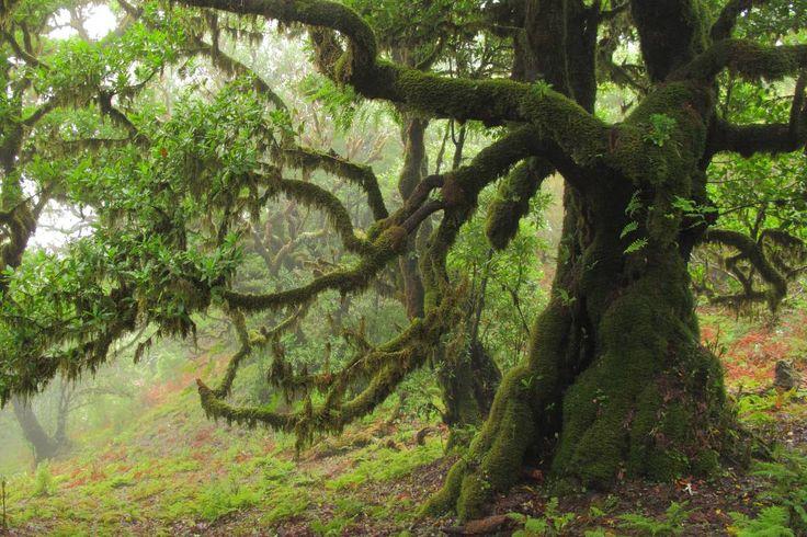 Auf Madeira ist der Feenwald von Fanal mit seinen uralten Lorbeerbäumen Teil des großflächigen Lorbeerwaldes (Laurisilva). Er gehört zum UNESCO Welterbe.