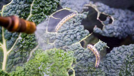 Schädlingsbekämpfung Garten-Bei unsachgemäßer Anwendung drohen gesundheitliche Schäden wie Atemnot, Übelkeit und Schwindel oder Allergien. Das Wichtigste in Kürze:     Auch frei verkäufliche Mittel gegen Schädlinge in Haus und Garten können zu ernsten Vergiftungen, Krankheiten und Allergien führen.     Im Garten können schon passende Kräuter und Pflanzen die Schnecken fernhalten.     Wir geben Tipps, wie Sie Gesundheit und Umwelt schonen.