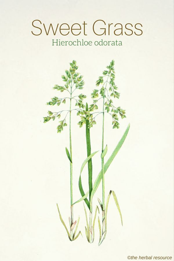 Sweet Grass Hierochloe odorata                                                                                                                                                                                 More