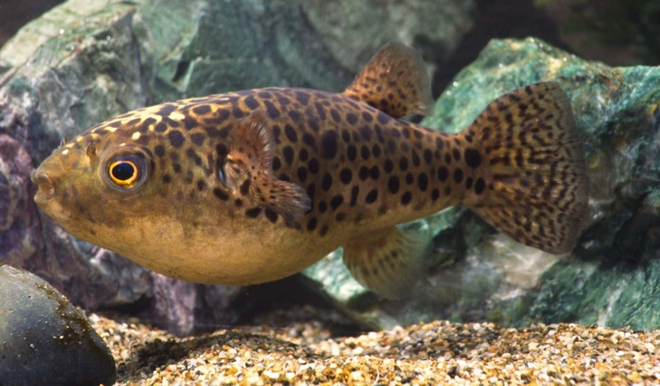 Adult tetraodon nigroviridis green spotted puffer for Figure 8 puffer fish