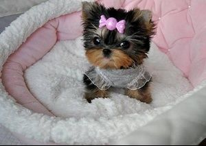 WELL TRAINED TEACUP YORKIE PUPPIES...she looks like a little princess.
