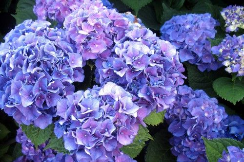 High Resolution Pictures of Hydrangea Flower in Lush Blue